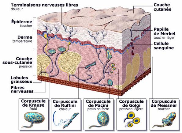 La peau et le système nerveux. La réflexologie agit sur la détente du système nerveux et procure des effets calmants, déstressants, rééquilibrants et revitalisants. La réflexologie : un excellent outil antistress !